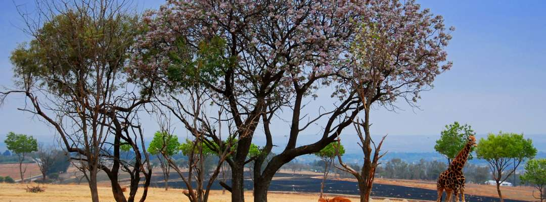 2014, Amedeo Valoroso, Gauteng, giraffe, Lion park, oasis, South Africa, Sudafrica