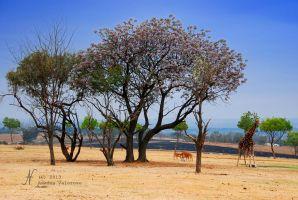 (2013) South Africa giraffe oasis